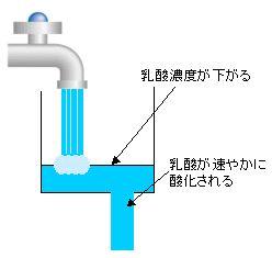 乳酸酸化を活性化