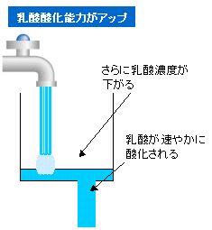 乳酸酸化能力の増大